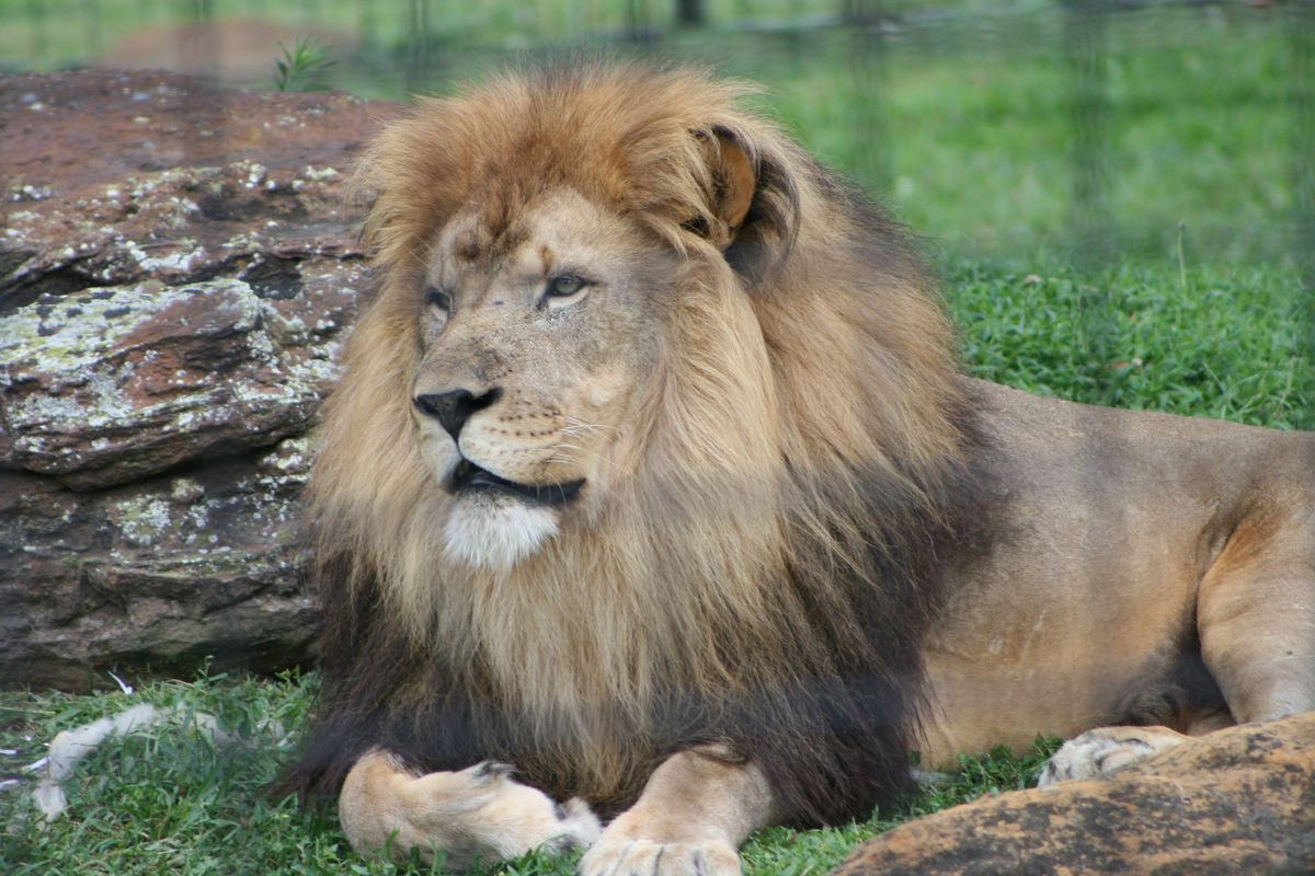 Lincoln Park Zoo lion, Sahar, dies while housed at Kansas zoo