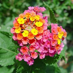 Lantana with intensely bright colors are perfect choices for tropical-looking gardens.
