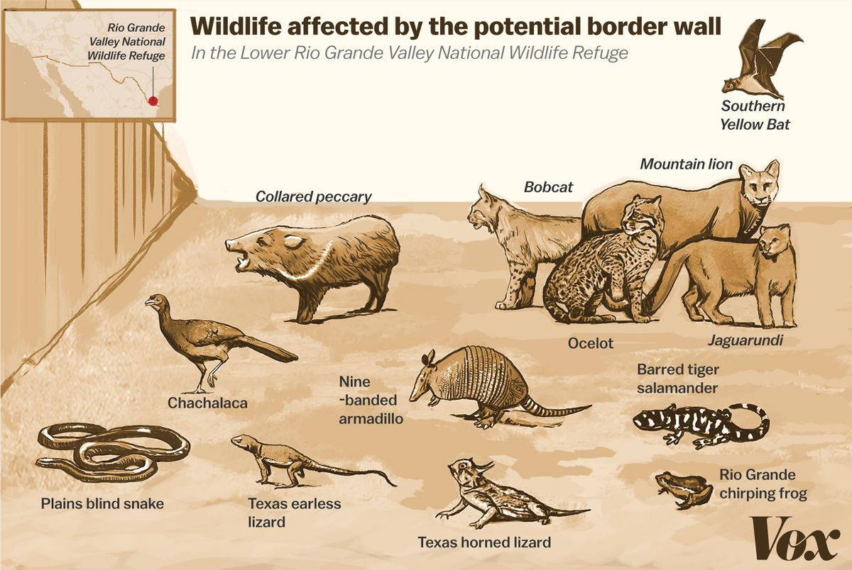 Illustration of the various animals that would be affected by a border wall in the Lower Rio Grande Valley