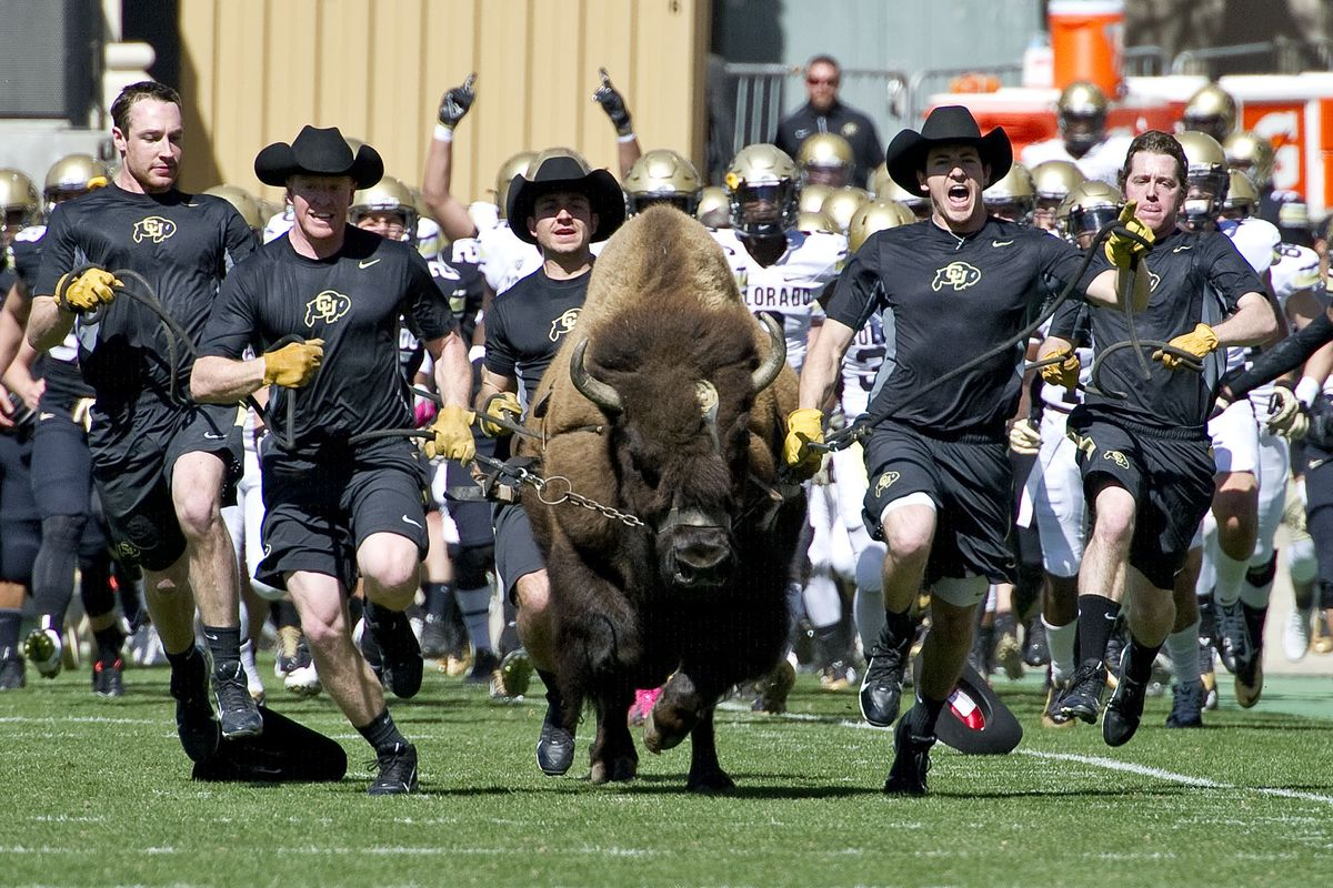 Ralphie V (also known as Blackout) bursts out in front of the team prior to Colorado's 2015 spring game.