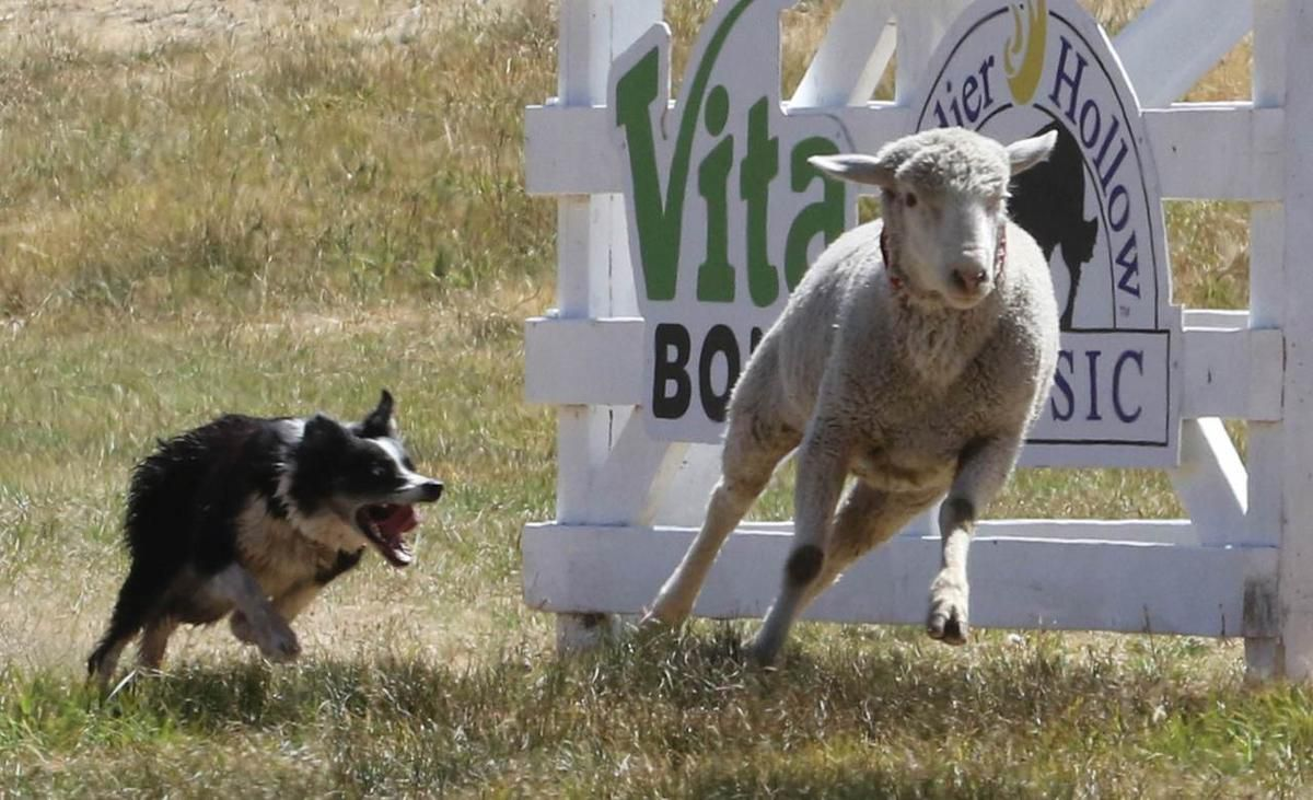 The Soldier Hollow Sheepdog Classic is Aug. 30-Sept. 2 in Midway.