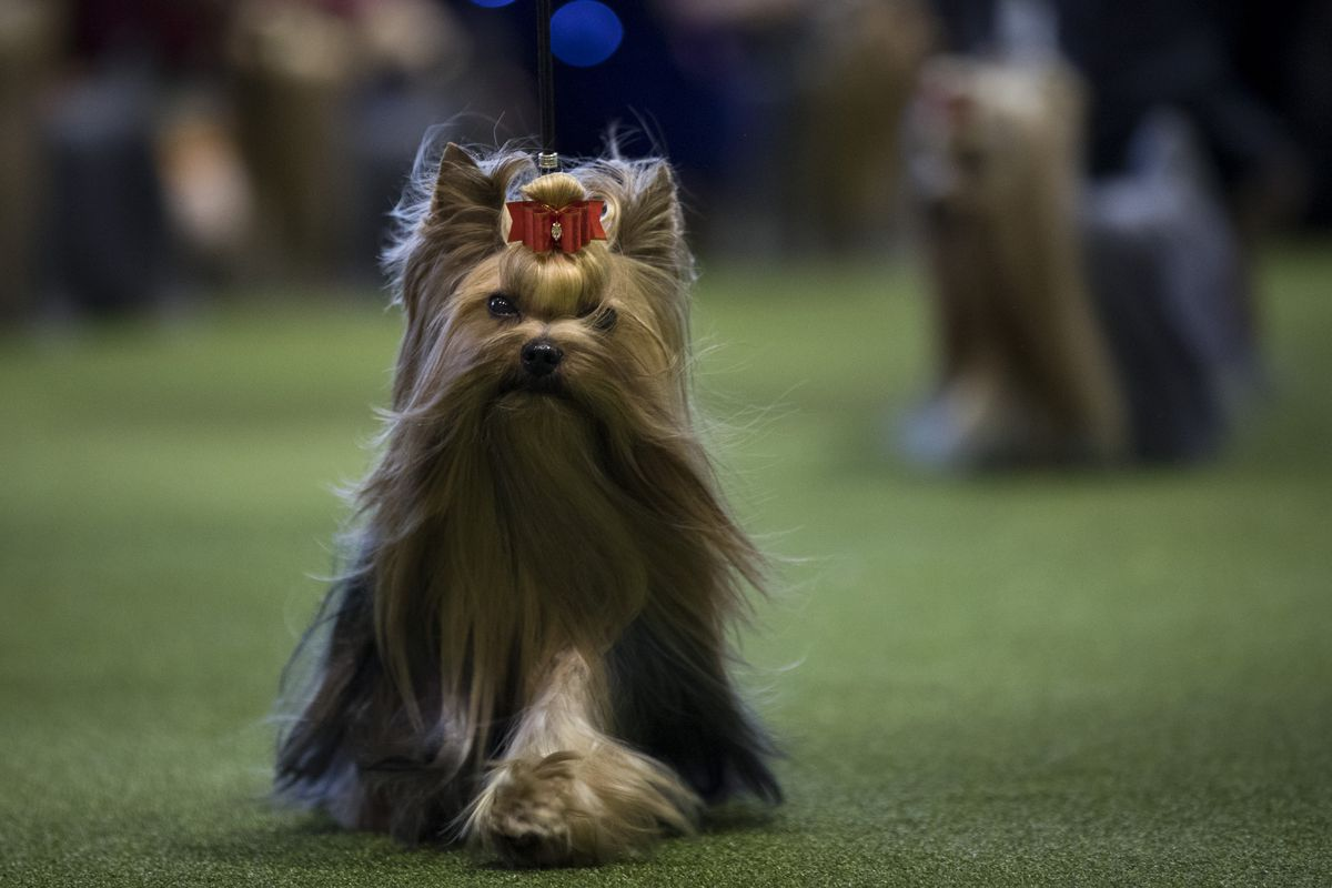 Westminster Dog Show 2017 results: Hound, Toy, Non-Sporting