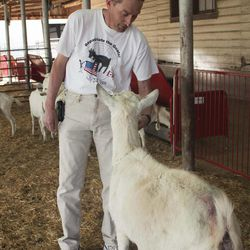 Utah State University professor Randy Lewis feeds a goat at USU's research farm in Logan. The goats were bred with two spider genes to produce two key proteins used to make spider silk. Those proteins are then harvested through the goat's milk. Lewis is trying to find commercial applications for spider silk, which is stronger than steel and more flexible. Spider silk can be used to replace damaged tendons and ligaments in patients, or used to make stronger and safer parachutes for soldiers.