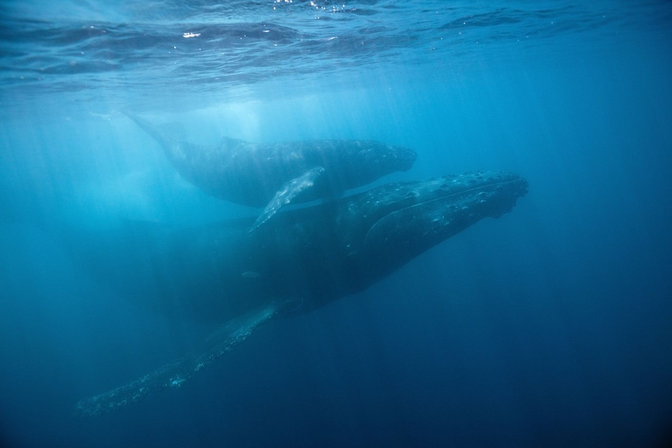Humpback Whale, Mother and Calf, Megaptera novaeangliae, Socorro, Revillagigedo Islands, Mexico