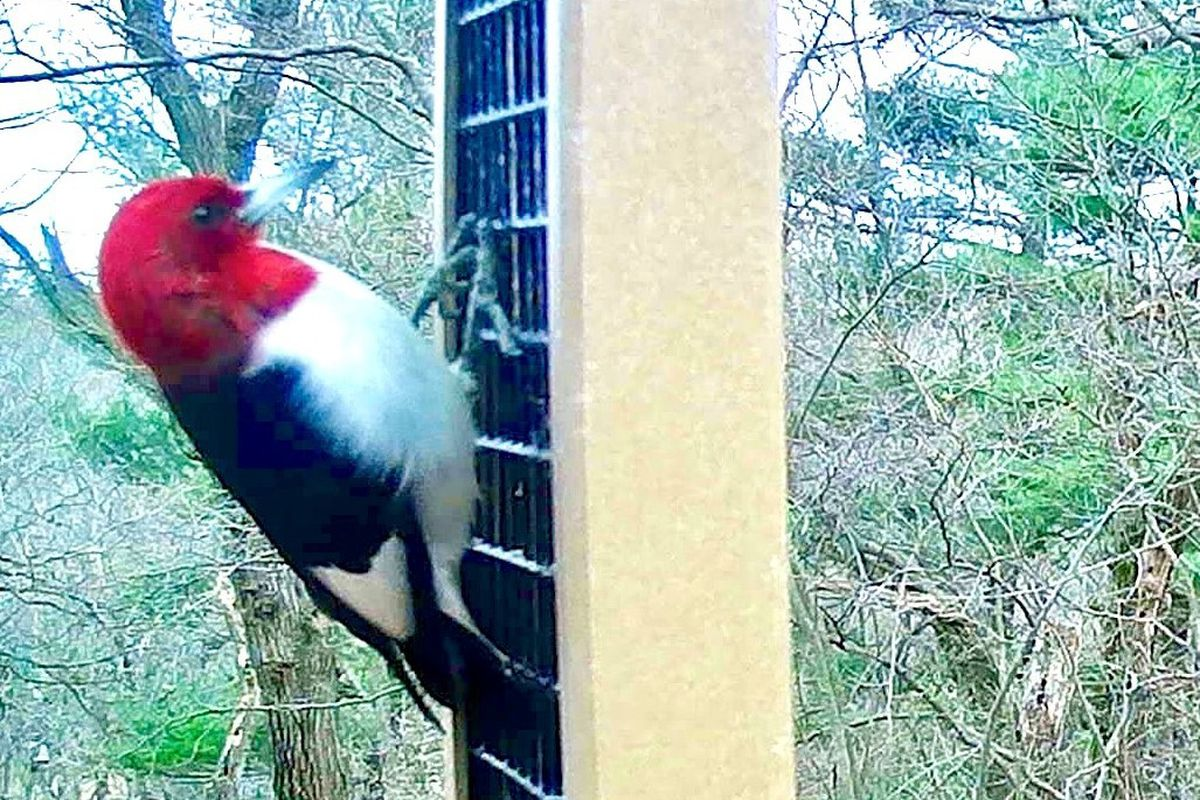 Red-headed woodpecker in Beverly Shores. Provided photo