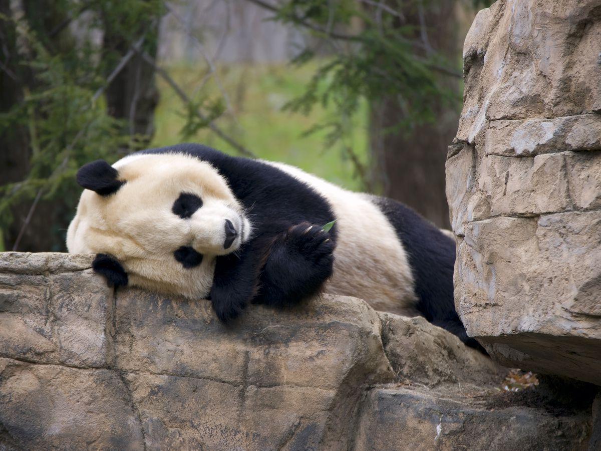 A panda sleeps on a rock at Smithsonian's National Zoo.