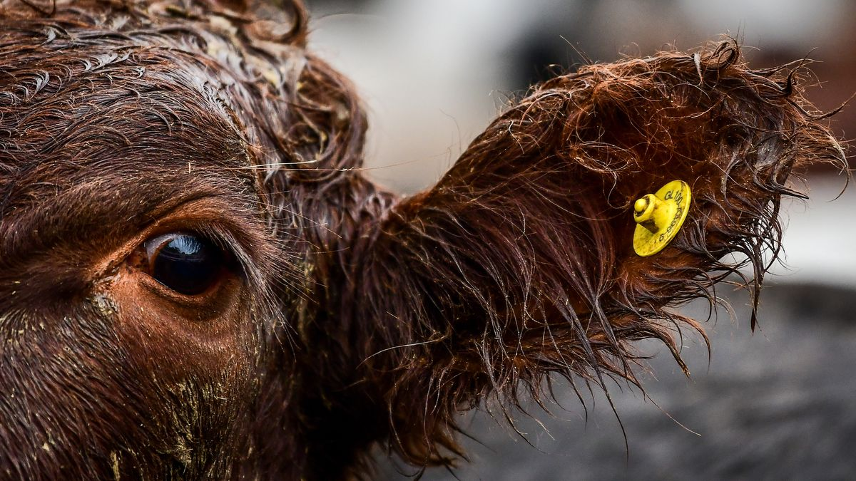 A distressed Red Angus cow appears wet at a market.