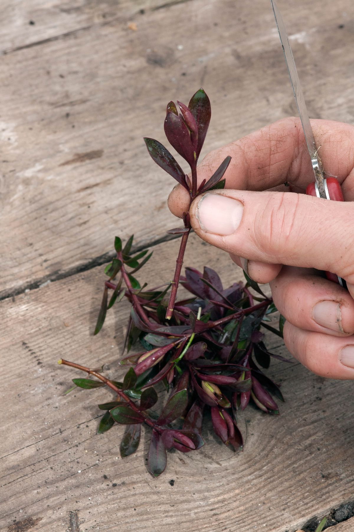 Taking cuttings of Hebe in order to propagate. hand holding scissors and striping off the lower leaves of the plant.