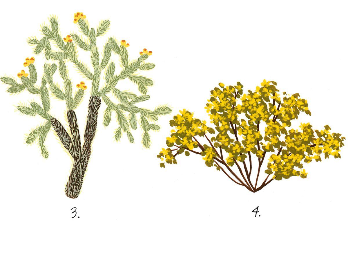 california desert plants  an illustrated guide