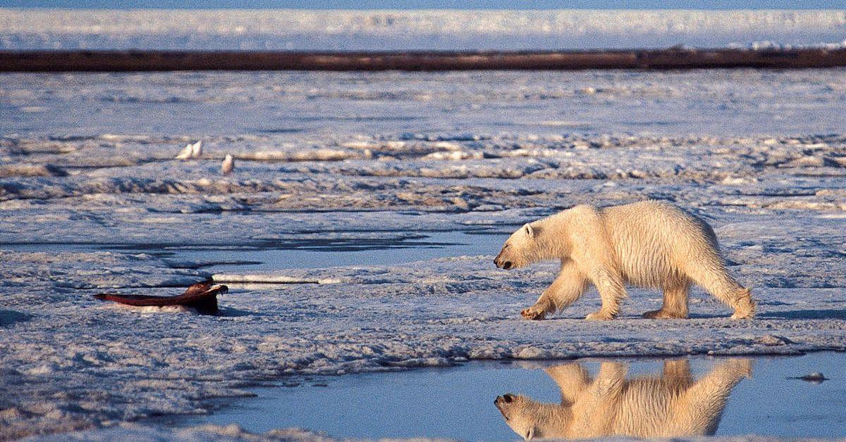 Polar bears overrun Russian village
