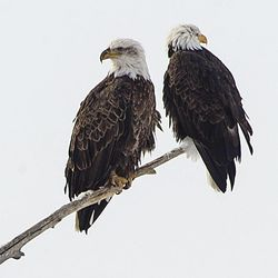 Bald eagles are perched at Farmington Bay Wildlife Management Area Friday, Dec. 20, 2013. Eagles are turning up dead and officials are working to find out the cause.