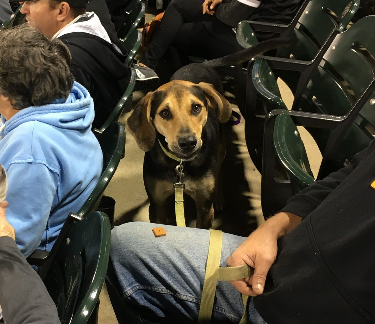 Jax is a Coonhound, who was rooting and howling for the White Sox all night.   Madeline Kenney