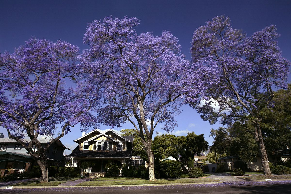 Jacarandas Bloom Along A South Pasadena Street Photo By David Mcnew Getty Images