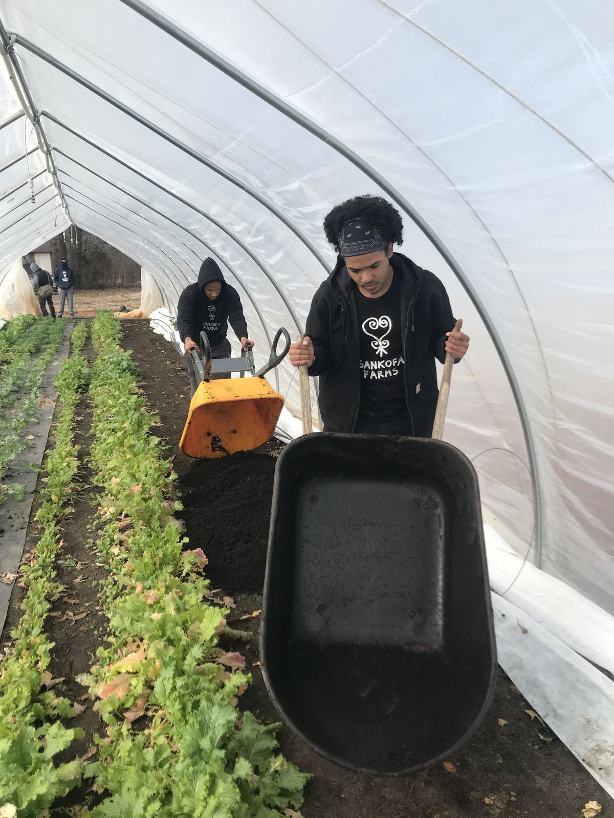 Two people pushing wheelbarrows inside a greenhouse where rows of greens are growing.