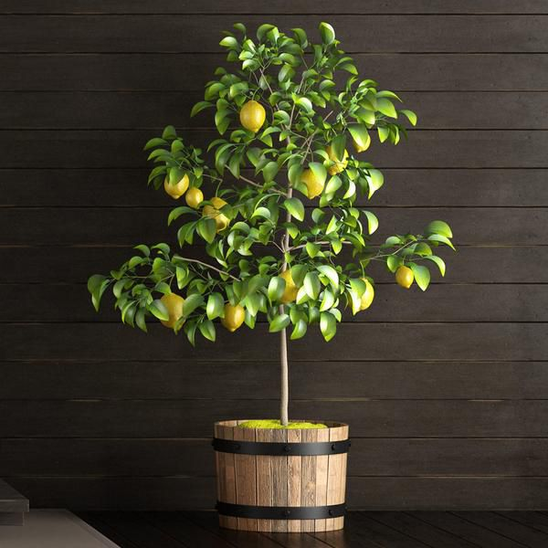 A lemon tree is planted in a wooden pot and stands in front of a dark brown wall.