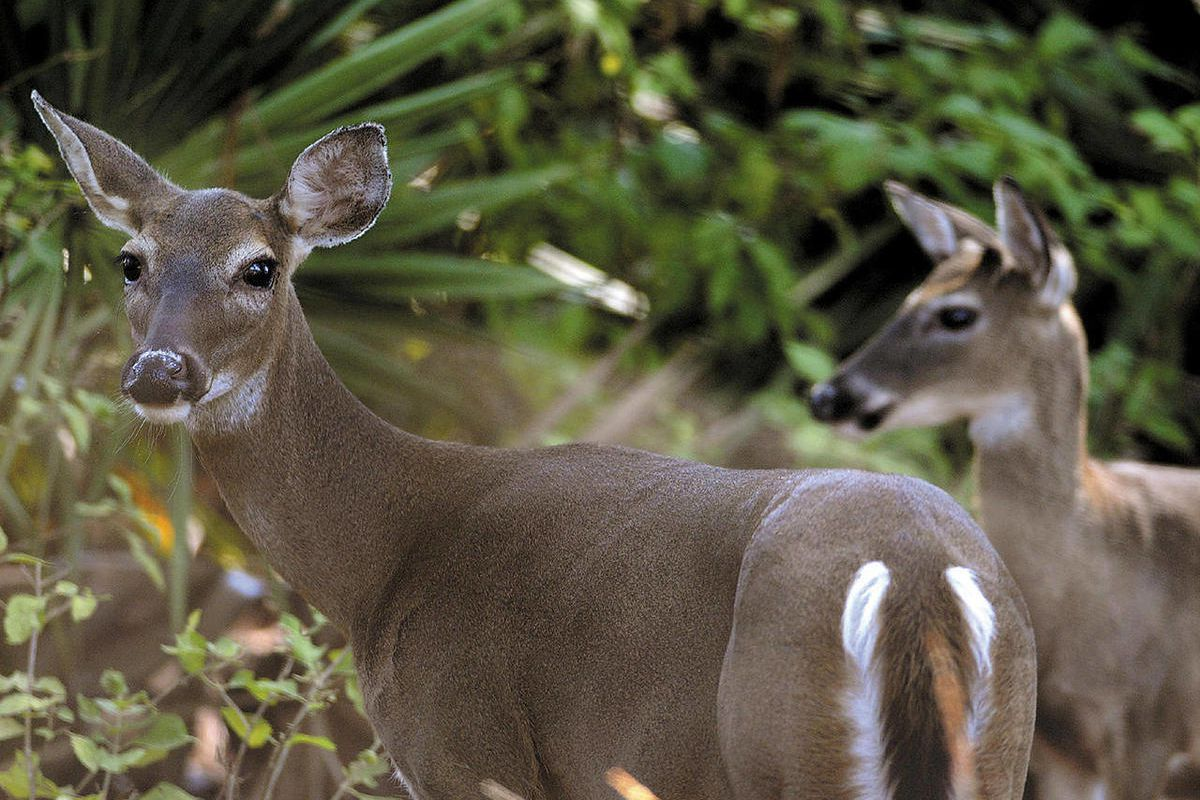FILE - In this Oct. 13, 2010 file photo, two deer peer out from the underbrush bordering Pine Lakes golf course on Jekyll Island, Ga. Often spotted chewing leaves by roadsides and at the edge of golf course fairways, deer have become such a common sight o
