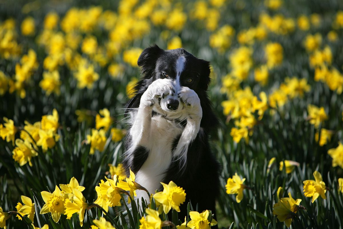 Crufts Prepare For The Start Of Annual Competition