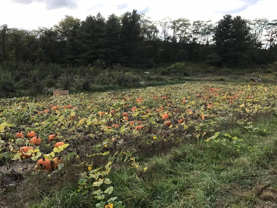 A pumpkin patch with many orange pumpkins on vines. Surrounding the pumpkin patch are trees.