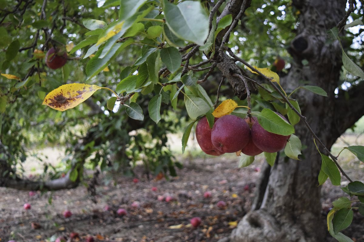Apples hang from at tree at Anderson Orchard in Mooresville, Indiana.
