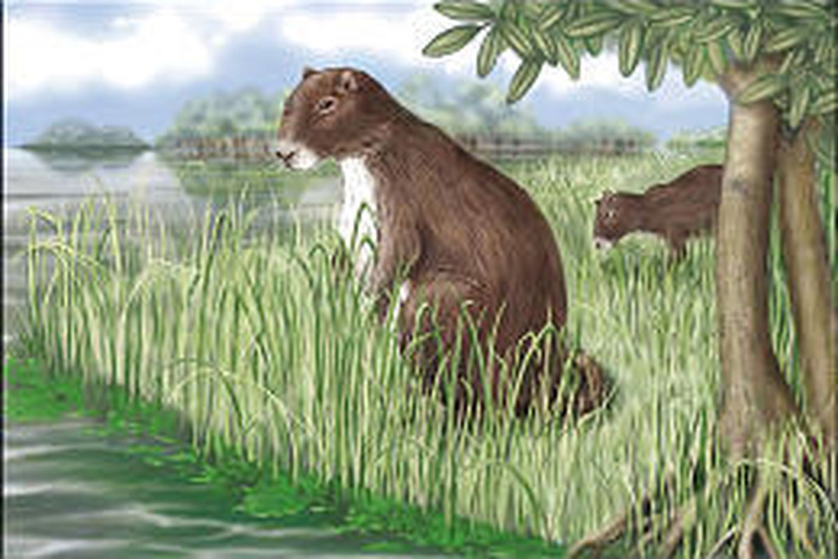 The largest rodent that ever lived, seen in this artist's rendering, existed some 6 million to 8 million years ago.