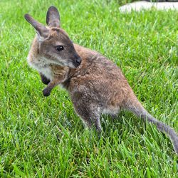 Whitney, a Bennett's wallaby joey born on November 20, 2020, at Brookfield Zoo.