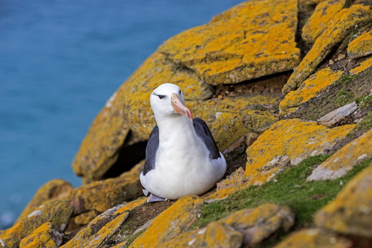 Falklands, Malouines, Ile de Saunders, Albatros A Sourcils Noirs (Thalassarche melanophrys)