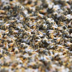 Veldon Sorensen works with his bees at his home in Salt Lake City Friday, Sept. 13, 2013. Sorensen is retired from Bayer but still consults for the company and others about bees.