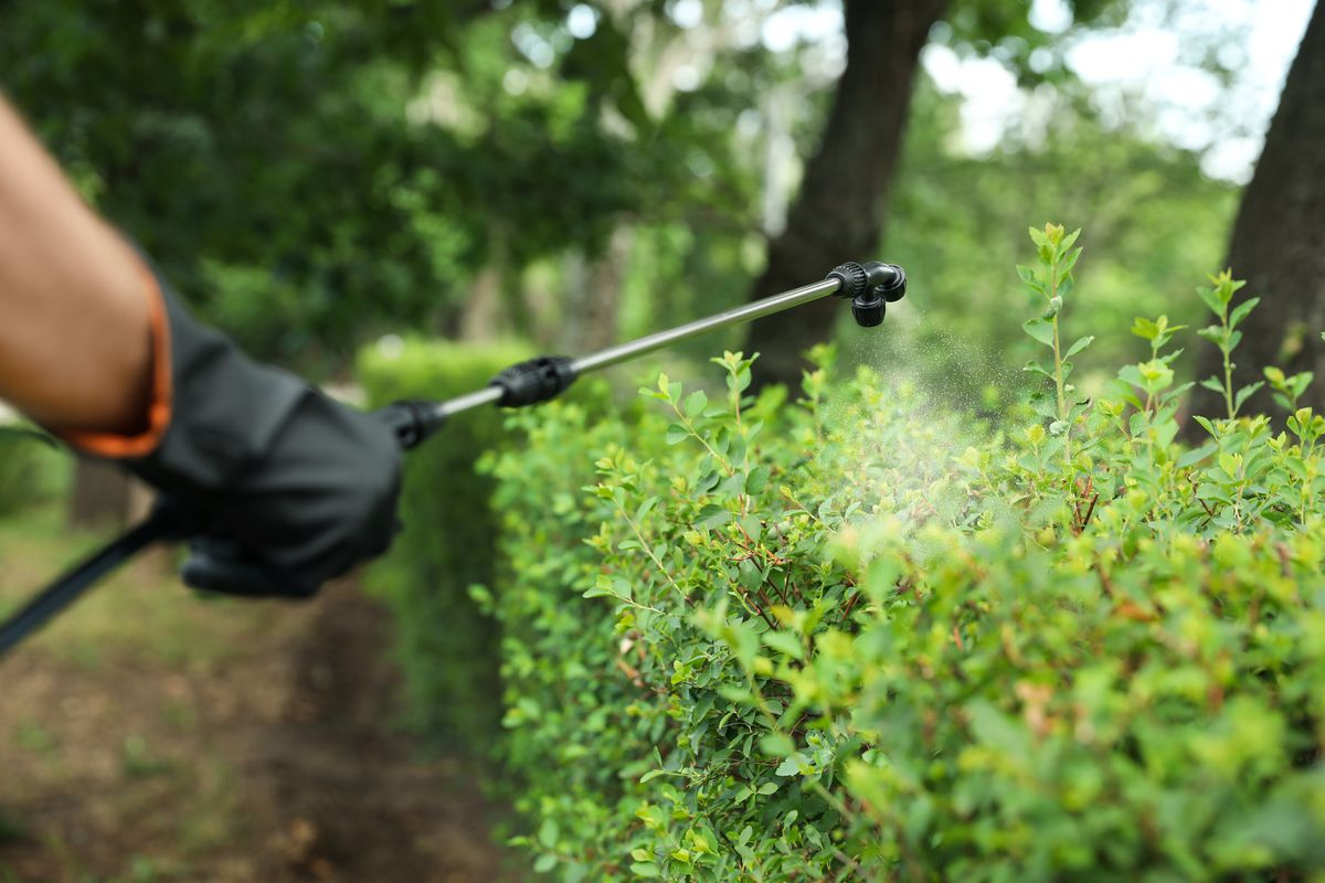 A pest control specialist wearing black protective gloves sprays pest control solution on green shrubs using a wand.
