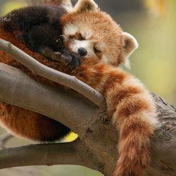 "A red panda in ""Born in China."""