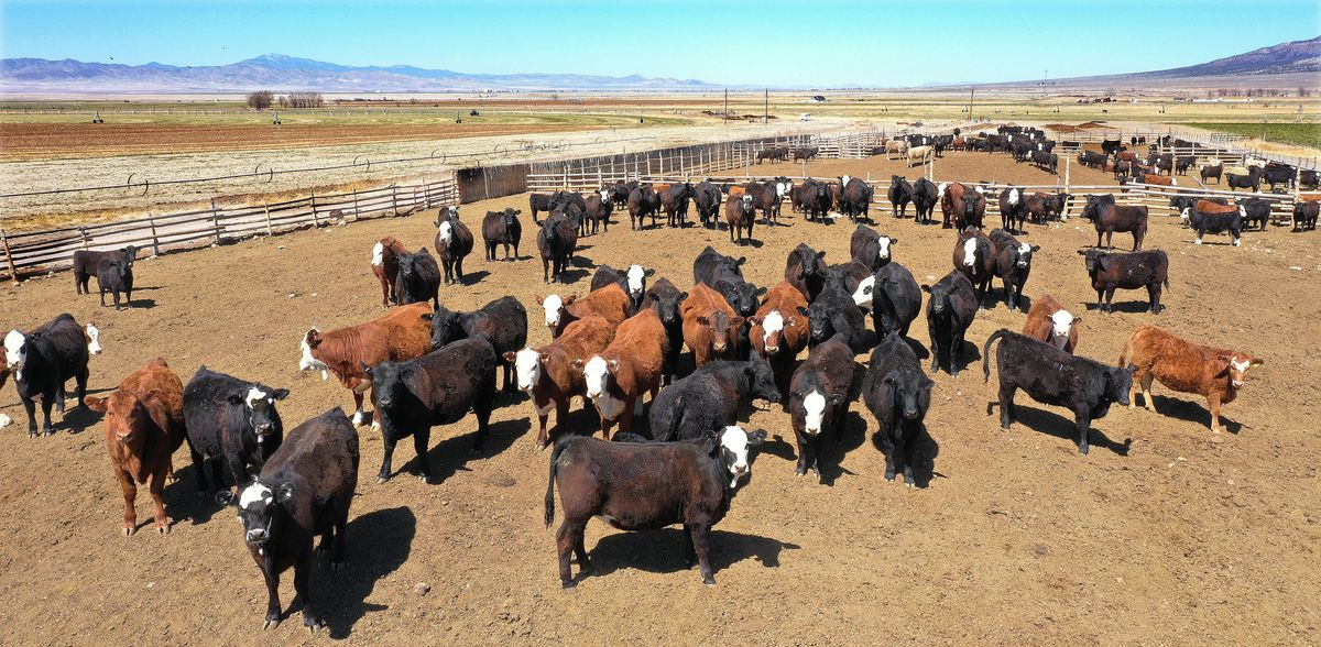 Cattle are fenced in a corral at Tammy Pearson's ranch in Minersville, Beaver County, on Thursday, April 1, 2021. Pearson is a Beaver County commissioner.