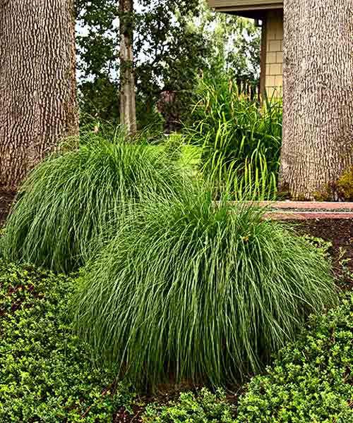 Tufted Hair Grass (Deschampsia Caespitosa) Groundcover