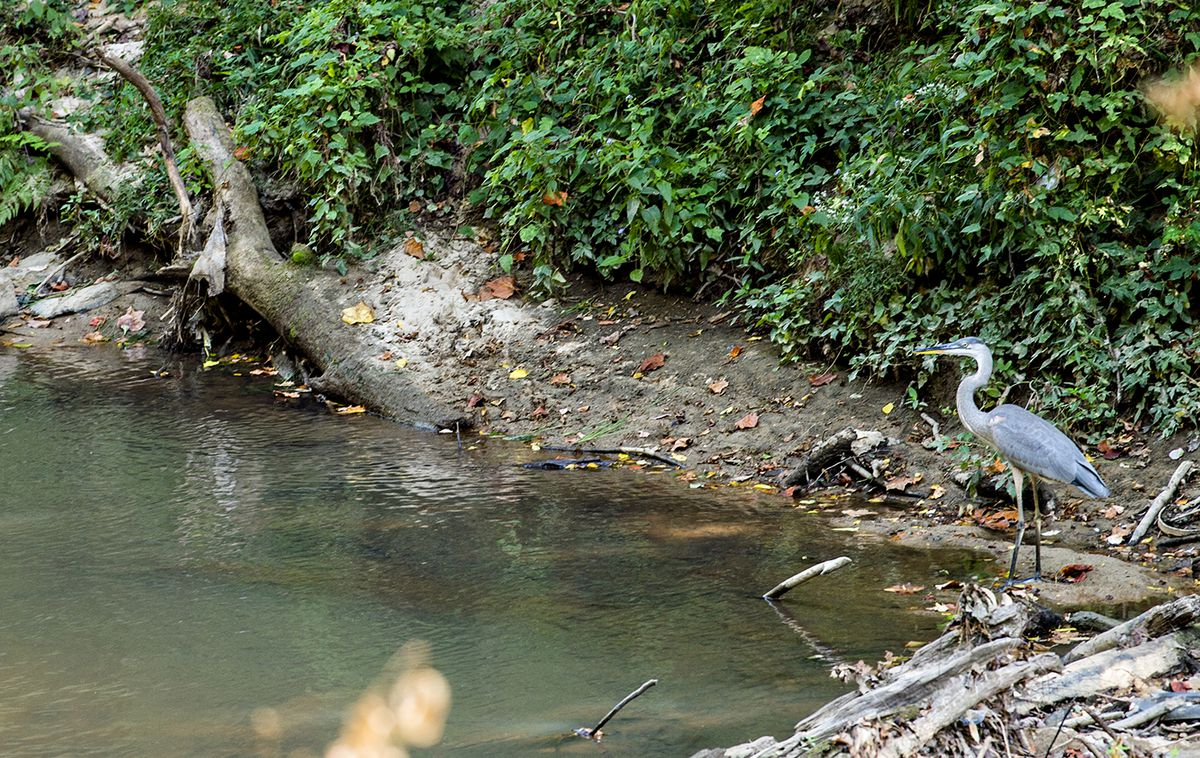 A large blueish bird in a creek beside the trail.