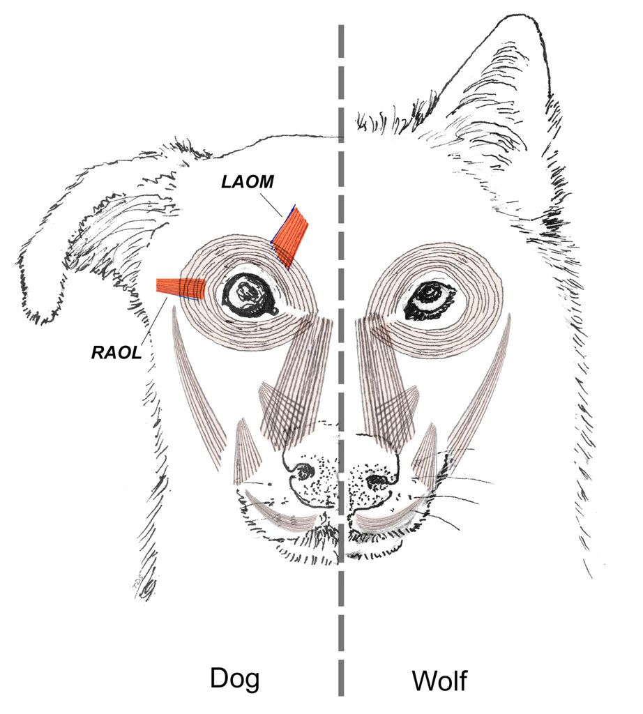 """This diagram provided by Tim Smith in June 2019 shows a comparison between dog and wolf facial muscles. A study released on Monday, June 17, 2019 suggests that over thousands of years of dog domestication, people preferred dogs that could pull off the """"pu"""