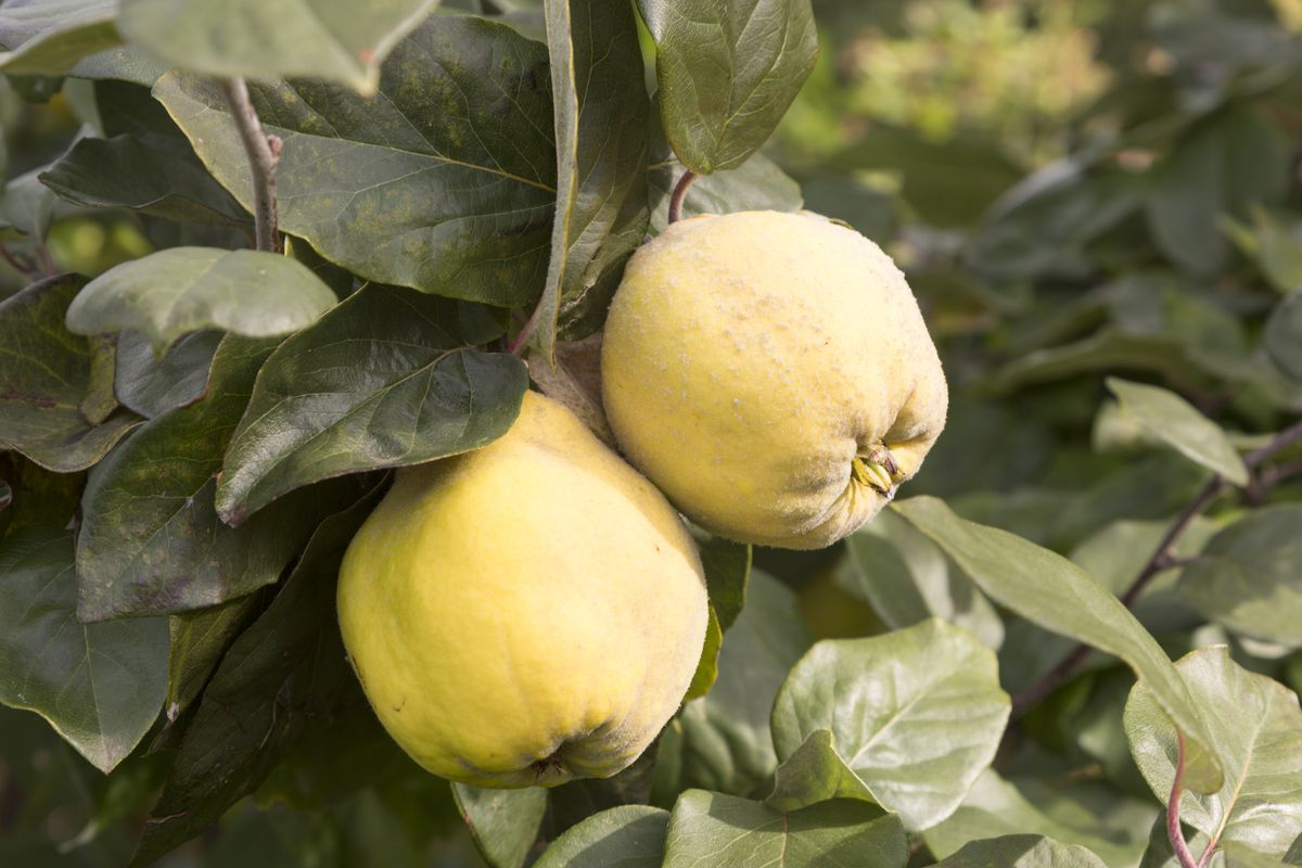 Quince on the branch.