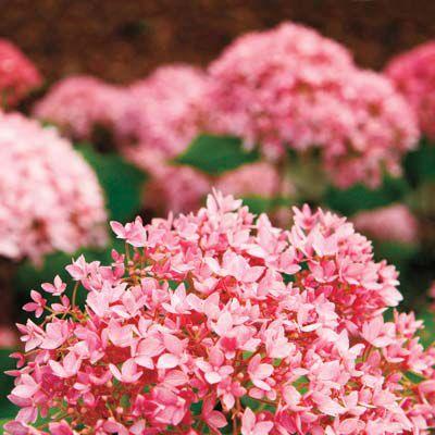 H. Macrophylla Pink Hydrangea