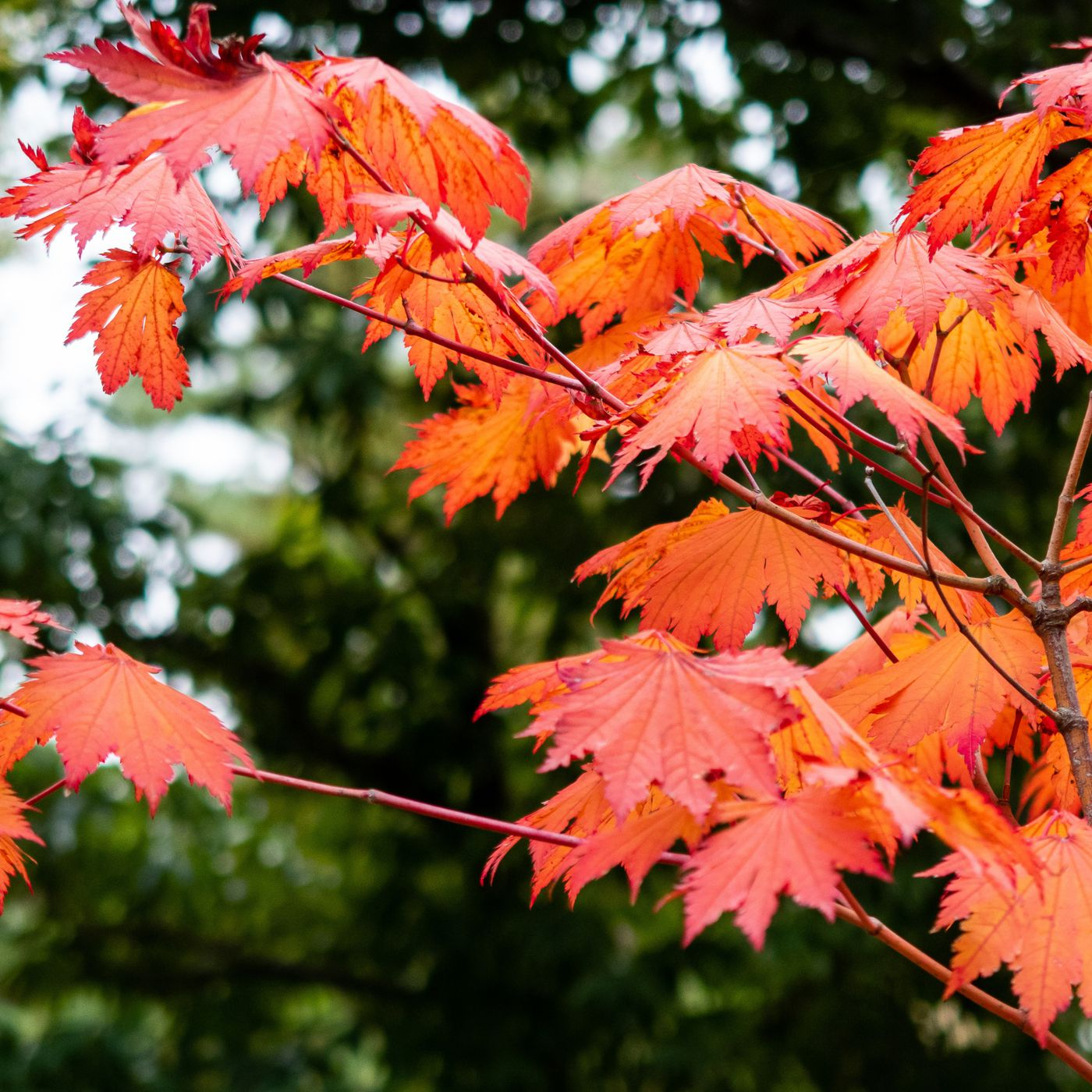 Everything You Need To Know About Emperor Japanese Maple Trees This Old House