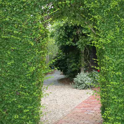 Privet Hedge With Pleached Arch