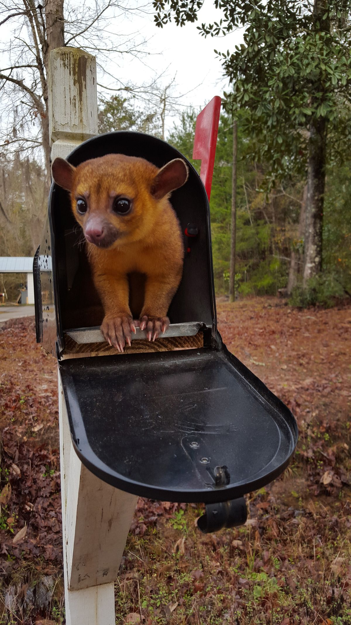 Mischievous Kinkajou Is The Pet You Never Knew You Wanted: CUTE AS FLUFF