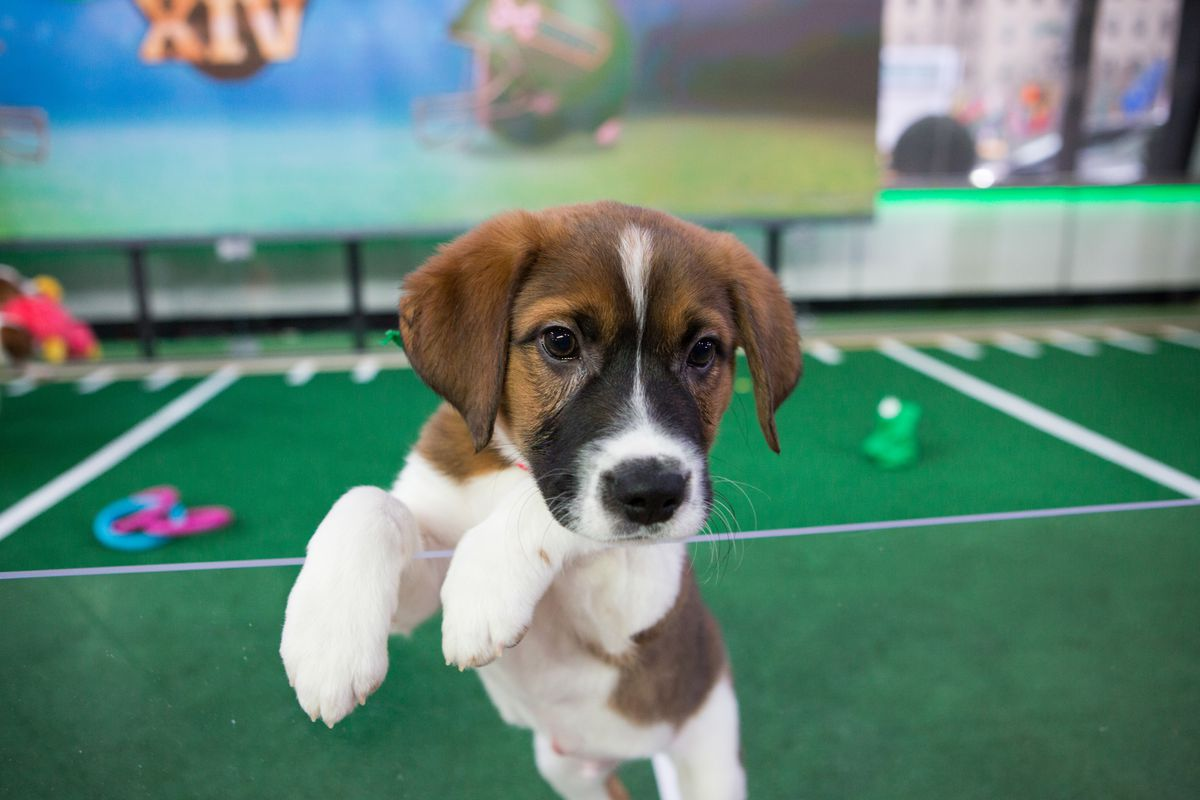 puppy bowl 2018 results: team fluff brings home the lombarky trophy