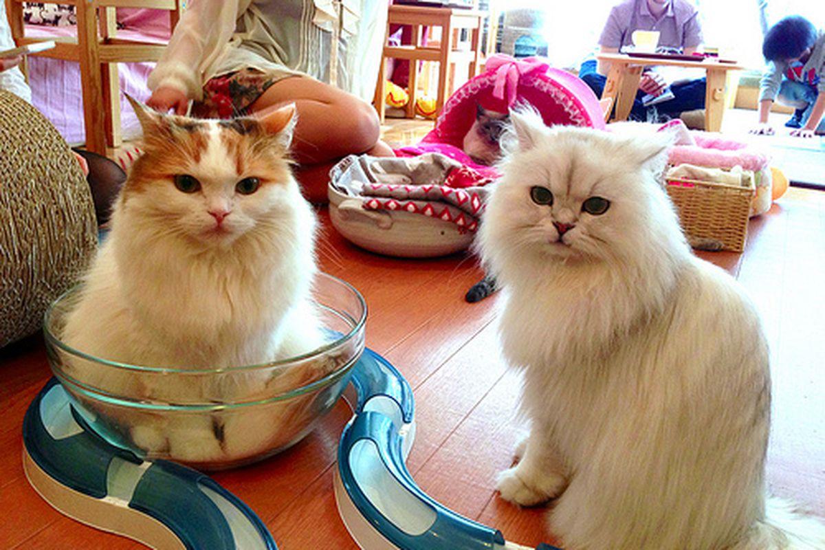 Cat cafe denizens in Japan.