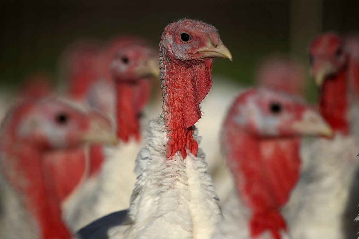 Turkeys Raised On California Farm