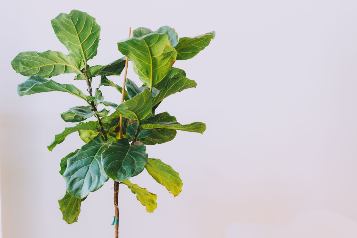 the green leaves of a fiddle leaf fig tree against a grayish white background