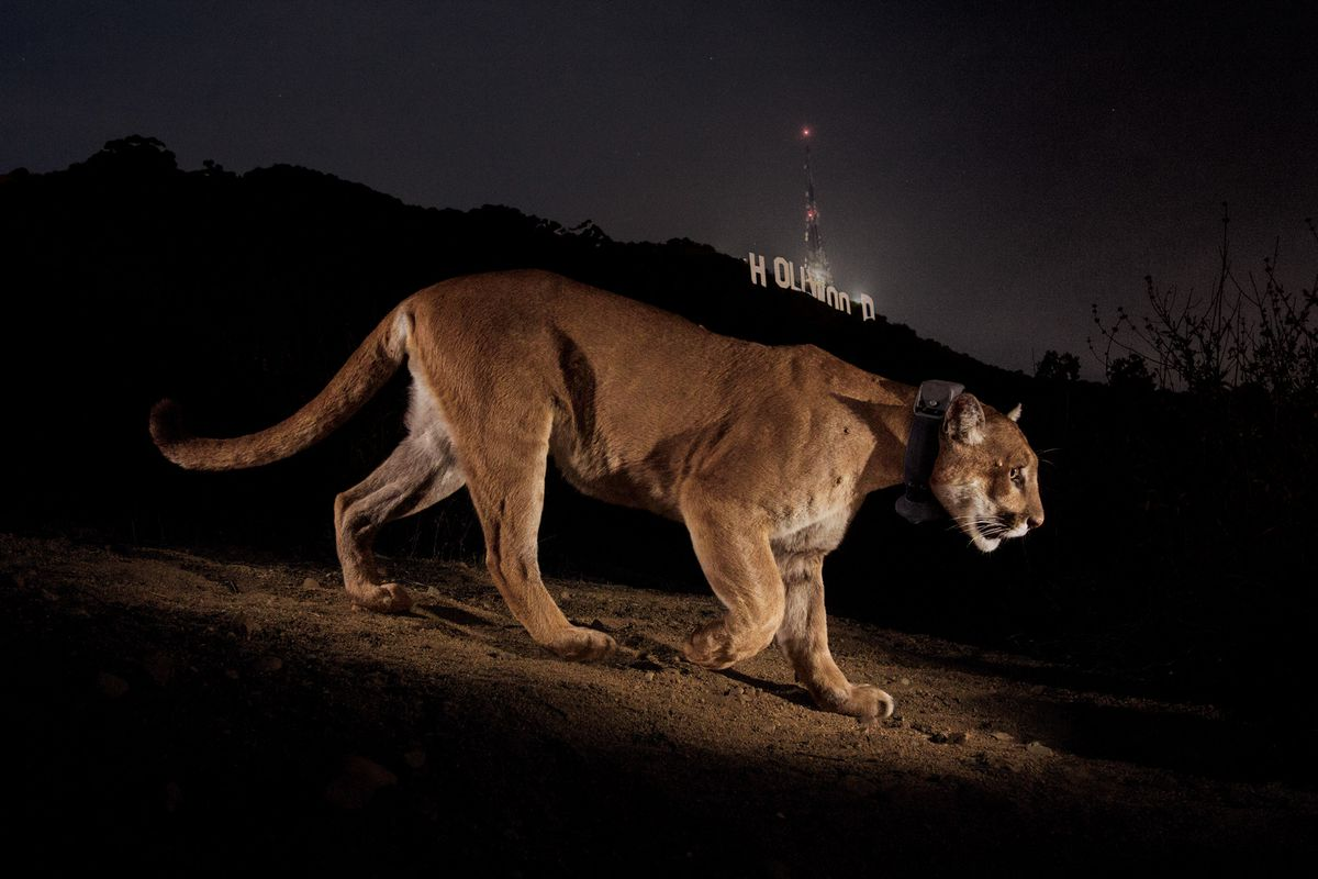 Where do mountain lions hunt in Los Angeles? - The Verge