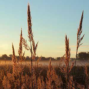 <p>Big bluestem, grass of the central prairies and plains</p>