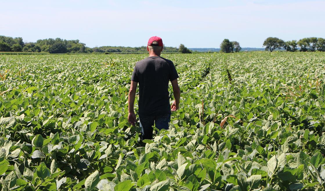 A soybean farm in Illinois
