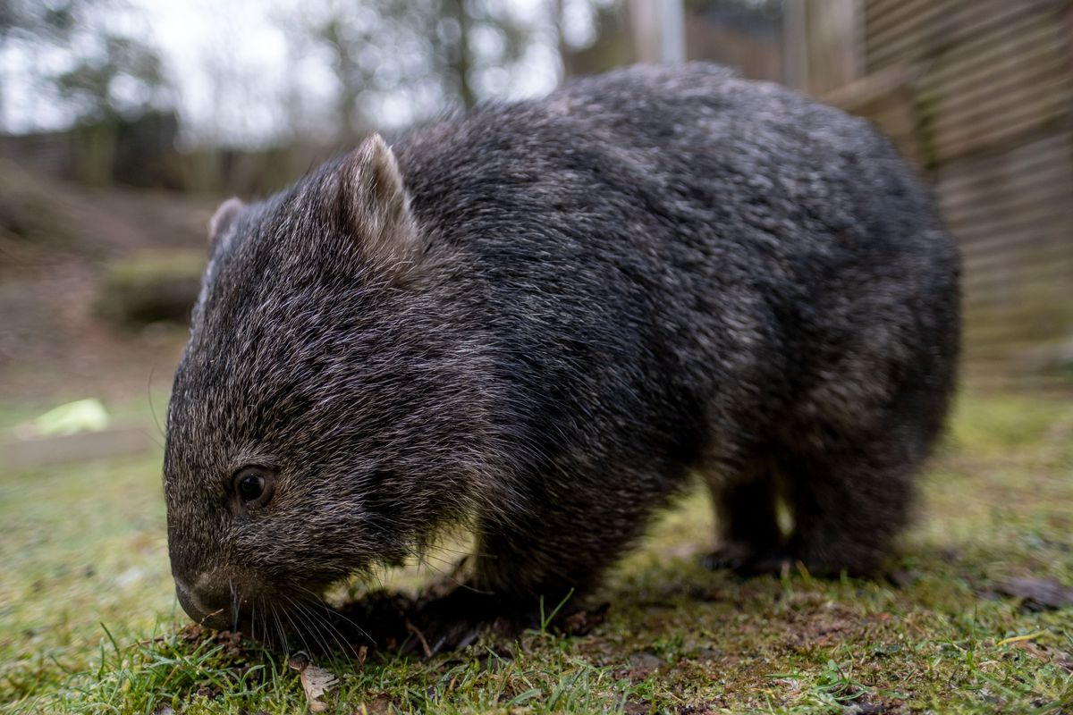 Wombat offspring at Hannover Zoo