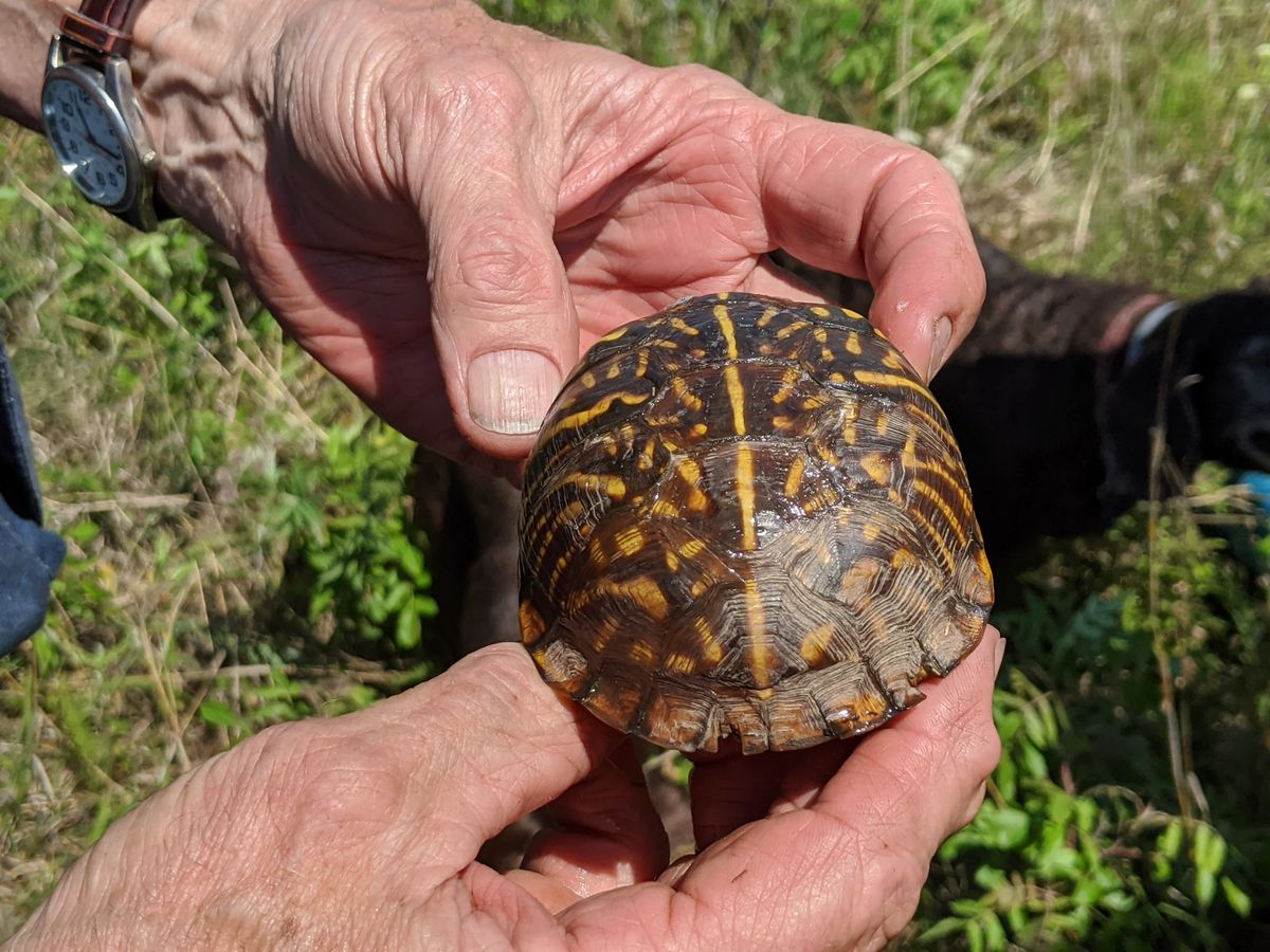 A close-up of the ornate box turtle found by Jenny Wren. Credit: Dale Bowman