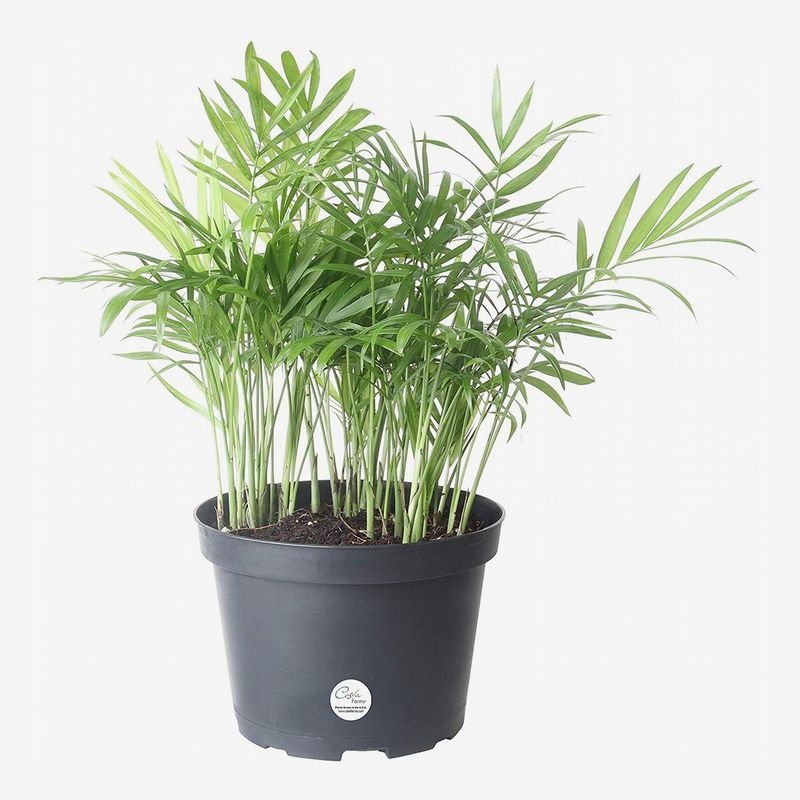 Black planter with thin light green shoots.
