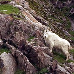 A mountain goat pauses on the rocks in Little Cottonwood Canyon. The first goats were transplanted in 1967.