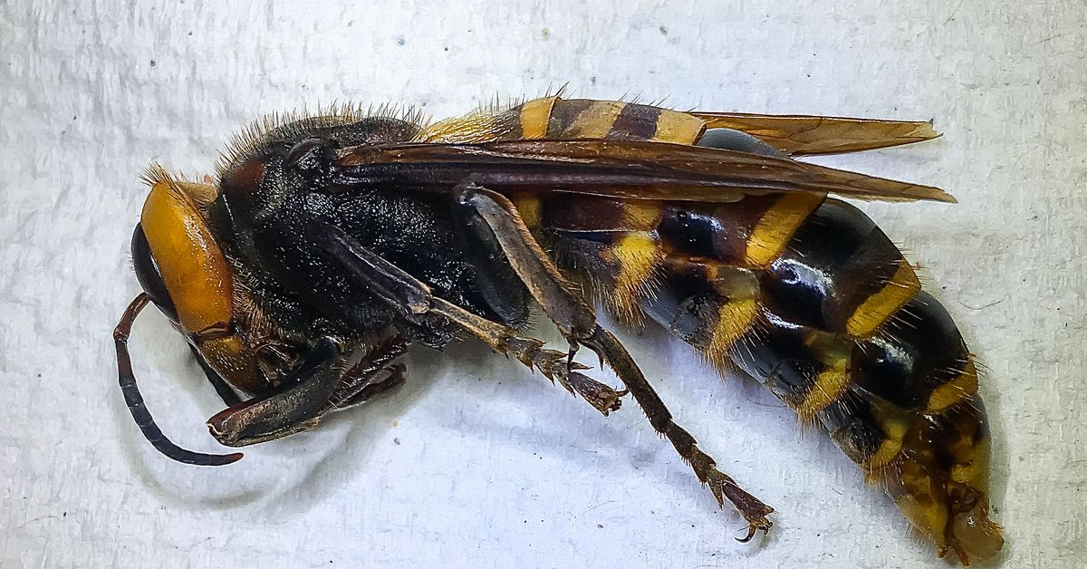 photo of Hey murder hornet how's it going image